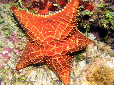 Cushion Sea Star - Oreaster reticulatus - Grand Cayman