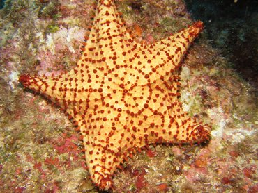 Cushion Sea Star - Oreaster reticulatus - Roatan, Honduras