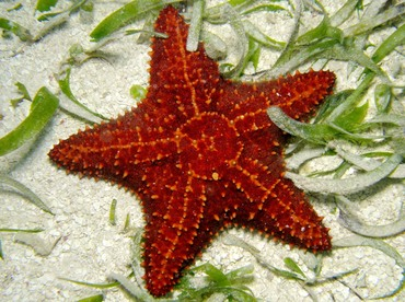 Cushion Sea Star - Oreaster reticulatus - Belize