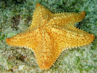 Cushion Sea Star - Oreaster reticulatus - Cozumel, Mexico