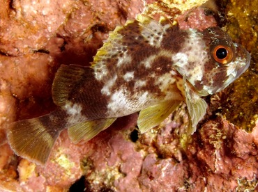 Speckled Scorpionfish - Sebastapistes coniorta - Maui, Hawaii