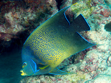 Semicircle Angelfish - Pomacanthus semicirculatus - Great Barrier Reef, Australia