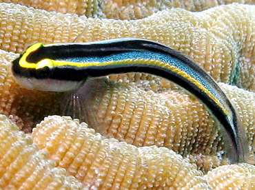 Sharknose Goby - Elacatinus evelynae - Grand Cayman