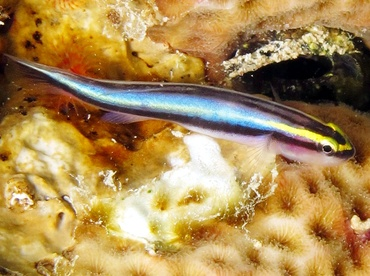 Sharknose Goby - Elacatinus evelynae - Bonaire