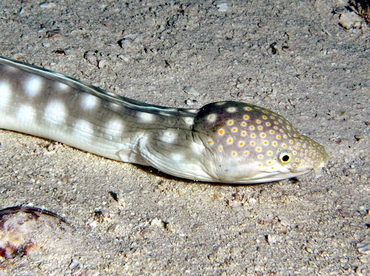 Sharptail Eel - Myrichthys breviceps - Cozumel, Mexico