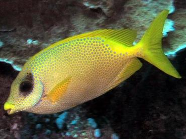Coral Rabbitfish - Siganus corallinus - Palau