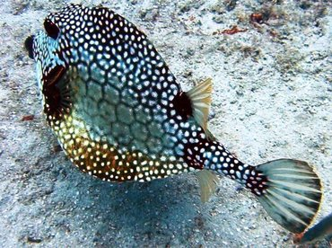 Smooth Trunkfish - Lactophrys triqueter - Bimini, Bahamas