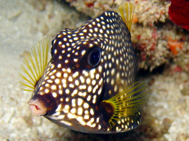 Smooth Trunkfish - Lactophrys triqueter - Belize