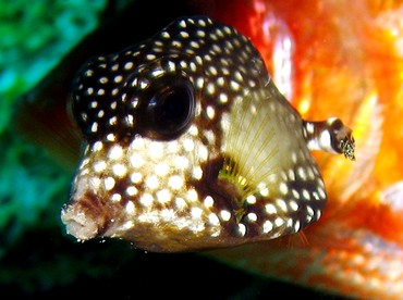 Smooth Trunkfish - Lactophrys triqueter - St Thomas, USVI