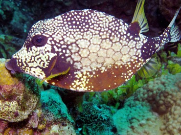 Smooth Trunkfish - Lactophrys triqueter - Nassau, Bahamas