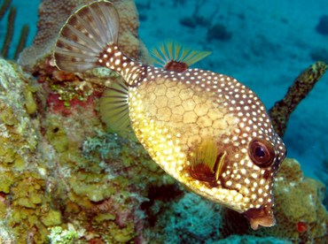 Smooth Trunkfish - Lactophrys triqueter - Grand Cayman