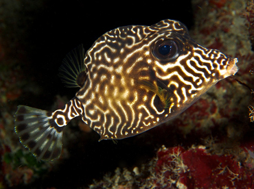 Smooth Trunkfish - Lactophrys triqueter - Roatan, Honduras