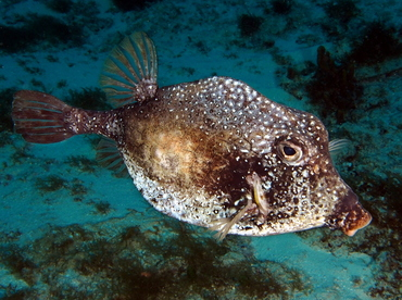 Smooth Trunkfish - Lactophrys triqueter - Cozumel, Mexico