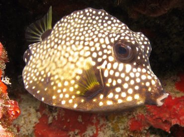 Smooth Trunkfish - Lactophrys triqueter - Aruba