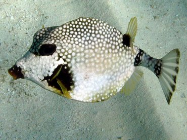 Smooth Trunkfish - Lactophrys triqueter - Isla Mujeres, Mexico