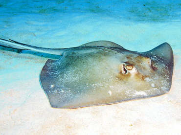 Southern Stingray - Dasyatis americana - Turks and Caicos