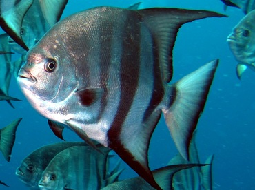Atlantic Spadefish Chaetodipterus Faber Spadefishes