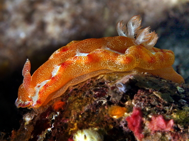 Spanish Dancer - Hexabranchus sanguineus - Bali, Indonesia