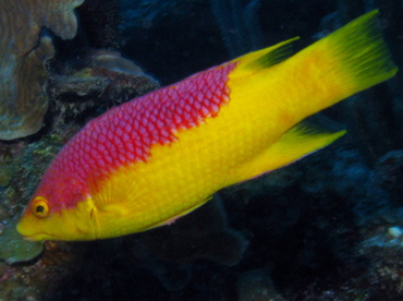 Spanish Hogfish - Bodianus rufus - Belize
