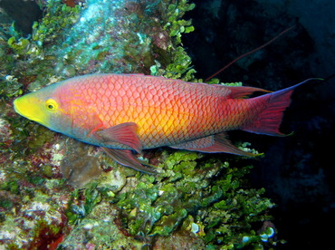 Spanish Hogfish - Bodianus rufus - Turks and Caicos