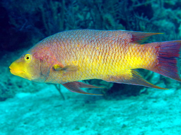 Spanish Hogfish - Bodianus rufus - The Exumas, Bahamas