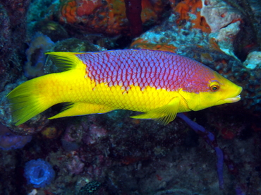 Spanish Hogfish - Bodianus rufus - Palm Beach, Florida