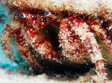 White Speckled Hermit Crab - Paguristes puncticeps - Turks and Caicos