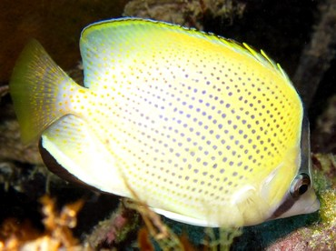 Speckled Butterflyfish - Chaetodon citrinellus - Yap, Micronesia