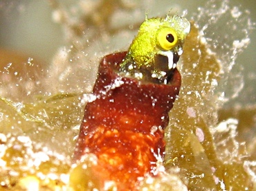 Spinyhead Blenny - Acanthemblemaria spinosa - Grand Cayman