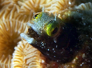 Spinyhead Blenny - Acanthemblemaria spinosa - Cozumel, Mexico