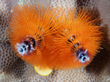 Indo-Pacific Christmas Tree Worm - Spirobranchus corniculatus - Great Barrier Reef, Australia
