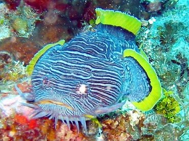 Splendid Toadfish - Sanopus splendidus - Cozumel, Mexico