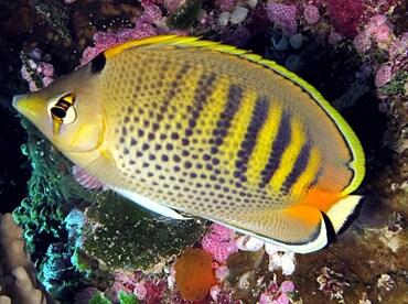 Spot-Banded Butterflyfish - Chaetodon punctatofasciatus - Palau