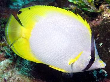 Spotfin Butterflyfish - Chaetodon ocellatus - Nassau, Bahamas