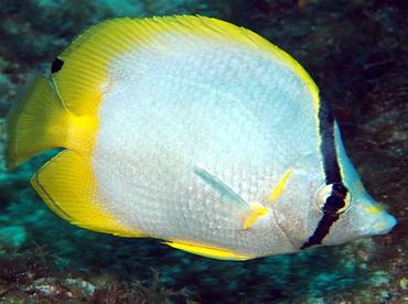 Spotfin Butterflyfish - Chaetodon ocellatus - Isla Mujeres, Mexico