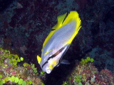 Spotfin Butterflyfish - Chaetodon ocellatus - Grand Cayman