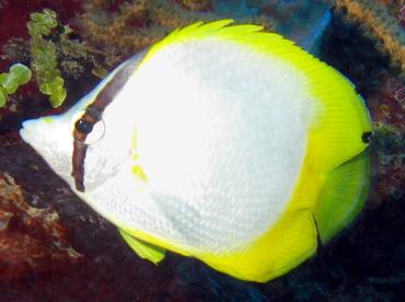 Spotfin Butterflyfish - Chaetodon ocellatus - Belize