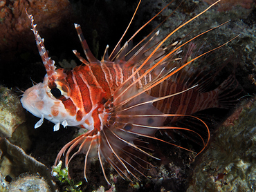 Spotfin Lionfish - Pterois antennata - Great Barrier Reef, Australia