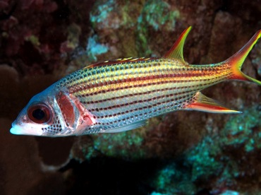 Spotfin Squirrelfish - Neoniphon sammara - Maui, Hawaii