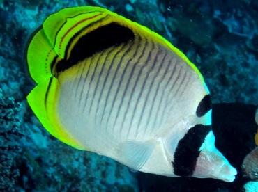 Spot-Nape Butterflyfish - Chaetodon oxycephalus - Palau
