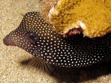 Spotted Boxfish - Ostracion meleagris - Maui, Hawaii