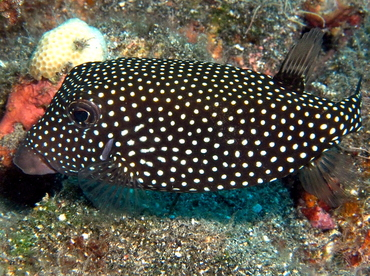 Spotted Boxfish - Ostracion meleagris - Big Island, Hawaii