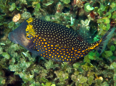 Spotted Boxfish - Ostracion meleagris - Bali, Indonesia
