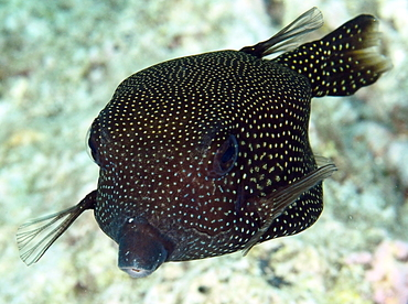 Spotted Boxfish - Ostracion meleagris - Palau