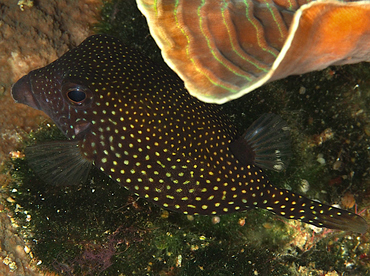 Spotted Boxfish - Ostracion meleagris - Wakatobi, Indonesia