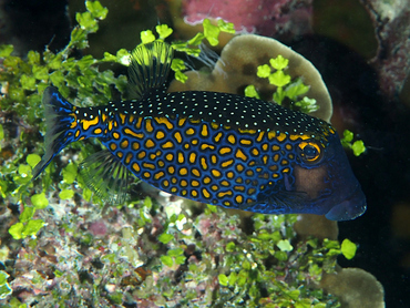 Spotted Boxfish - Ostracion meleagris - Great Barrier Reef, Australia