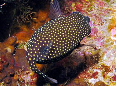 Spotted Boxfish - Ostracion meleagris - Lanai, Hawaii