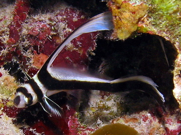 Spotted Drum - Equetus punctatus - Grand Cayman