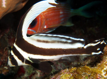 Spotted Drum - Equetus punctatus - Turks and Caicos