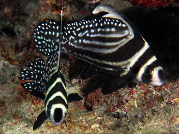 Spotted Drum - Equetus punctatus - Palm Beach, Florida